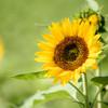 夏といえば一面黄色に咲き誇るひまわり!都内で眺められる絶景ひまわり畑5選をご紹介♡