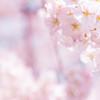 桜が咲くたび思い出す NICUに入った娘とのぼった7つの階段