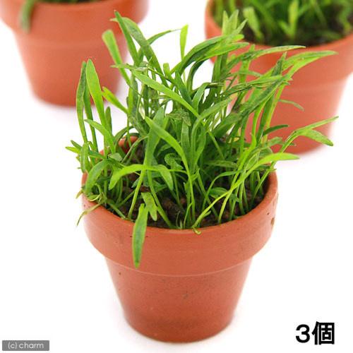 (水草)コブラグラス無農薬(3鉢)