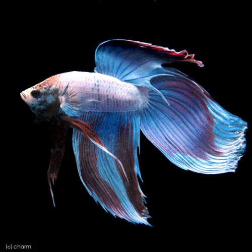 (熱帯魚)ベタ・トラディショナル オス(1匹)