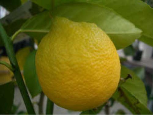 レモンの木 3年生
