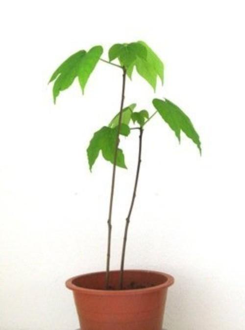 苗木 日本油桐