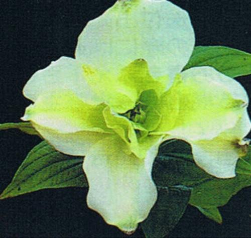 八重咲アメリカ花水木(白花 アルバブレイナ−)