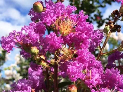 サルスベリ紫花単木 1.7m露地