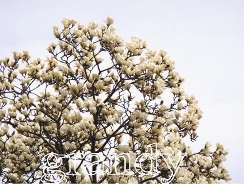 ハクモクレン 単木 樹高 H:2000mm